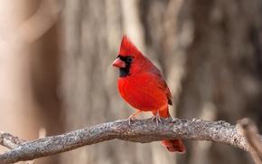 Обои цвет, перья, ветка, птица, кардинал, клюв