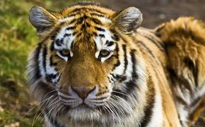 Обои тигр, хищник, кошачьи