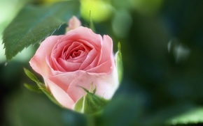 Обои макро, цветок, роза