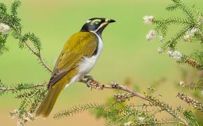 Обои перья, ветка, клюв, листья, синеухий медонос, хвост, Австралия, птица