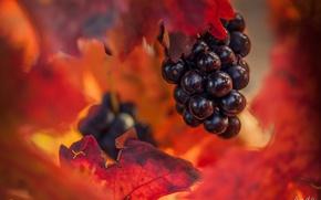 Обои осень, листья, виноград, гроздь, боке