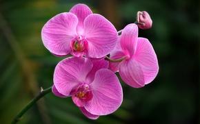 Обои орхидея, макро, экзотика