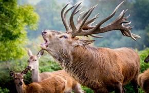 Картинка олень, рога, вожак