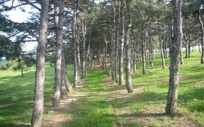 Картинка лес, ель, опушка