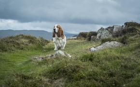 Картинка собака, тучи, Бассет-хаунд, национальный парк, гора Сноудон, Snowdonia, Уэльс, небо, трава, камни
