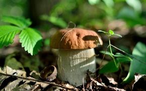 Картинка осень, лес, листья, природа, гриб