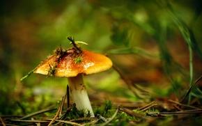 Картинка трава, гриб, мох, боке, маслёнок