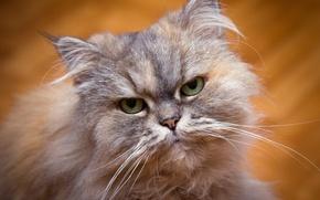 Картинка кошка, глаза, взгляд, фон, портрет, зеленоглазая, персидская