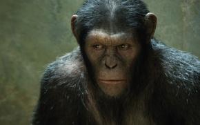Картинка обезьяна, monkey, Rise of the Planet of the Apes, Восстание планеты обезьян, Цезарь, Caesar, шимпанзе, …