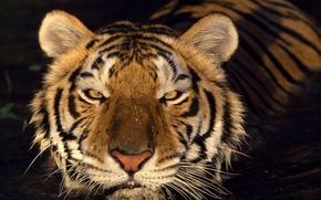 Обои взгляд, вода, Тигр
