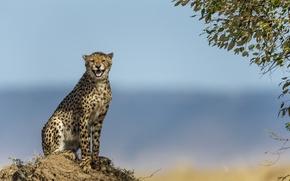 Картинка кошка, природа, фон, гепард