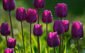 Обои цветы, утро, парк, сад, свежесть, цветение, лес, цветки, свет, растения, огород, цветок, тюльпаны, лето, трава, ...