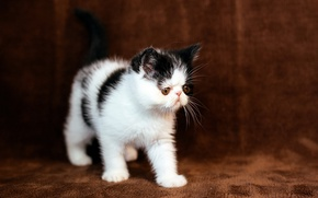 Картинка кошка, котенок, фон, перс, мордочка, коричневый, экстремал