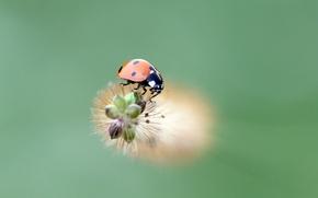 Картинка ladybug, insect, ladybird