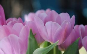 Картинка цветы, макро, лепестки. розовые, весна, тюльпан, тюльпаны