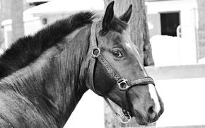 Картинка лошадь, черно-белое, рысак