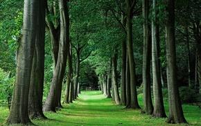 Картинка деревья, перспектива, Аллея