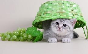 Обои котенок, виноград, корзина, милый