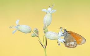 Картинка белый, цветок, бабочка, оранжевая, желтый фон, соцветие