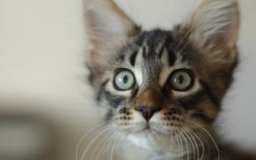 Картинка кошки, котята, мейнкун