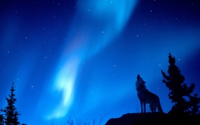 Обои волк, сияние, лес, Ночь