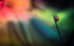 Картинка фон, божья коровка, насекомое, травинка