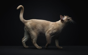 Картинка кот, хвост, сиамский
