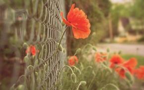 Картинка макро, цветы, красный, фон, сетка, widescreen, обои, забор, мак, размытие, ограда, ограждение, wallpaper, цветочки, широкоформатные, …