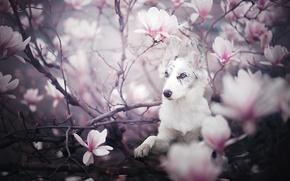 Обои цветки, собака, магнолия, щенок, цветение, Бордер-колли, ветки