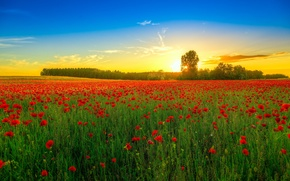 Обои поле, деревья, пейзаж, закат, цветы, природа, маки