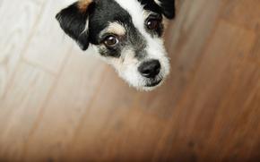 Картинка Dog, eyes, brown, look, floor