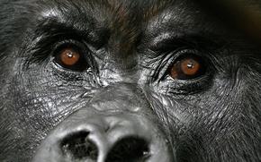 Картинка face, gorilla, diretc gaze