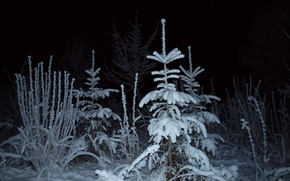 Картинка свет, ель, снег, зима, ночь, лес