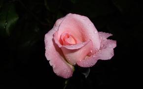 Картинка цветок, капли, макро, розовый, роза
