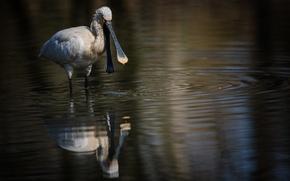 Картинка вода, Птица, водоплавающая, белая колпица