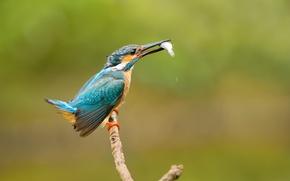 Обои ветка, птица, улов, kingfisher, рыба, alcedo atthis, обыкновенный зимородок