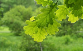 Обои макро, ветки, листва, зеленые, дуб