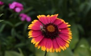 Картинка Цветы, Пчела, Gaillardia X Grandiflora Arizona Sun, Гайлардия, Гайлардия Аризона Сан