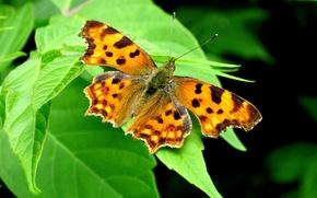 Картинка лето, листья, обои, бабочка, усики