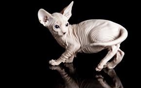 Картинка кошка, животные, кот, отражение, котенок, черный фон, сфинкс, обои от lolita777