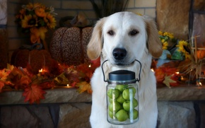 Картинка друг, яблоки, собака