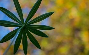 Картинка осень, цветок, макро, лист, растения, люпин