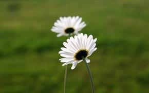 Обои макро, белый, ромашка, цветок