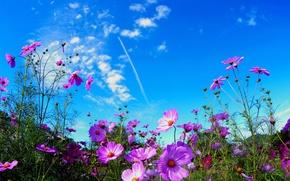Картинка поле, лето, небо, цветы, природа, розовые, космея
