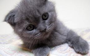 Обои серый котенок, gray kitten, kitten