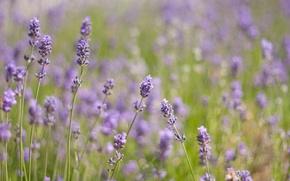 Картинка зелень, поле, трава, свет, цветы, природа, тепло, поляна, растения, фиолетовые, лаванда, сиреневые