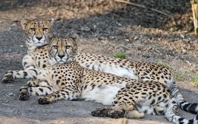 Картинка кошки, отдых, пара, гепарды