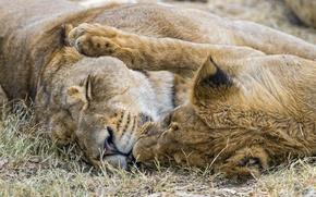 Картинка кошка, пара, львица, ©Tambako The Jaguar
