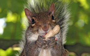 Картинка Squirrel, cute, peanut, foreground
