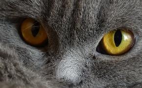 Картинка Кошка, Серый, Глаза, Домашние животные